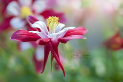 Aquilegia (Jacky Parker Floral Art) Tags: red white flower macro closeup outdoors spring nopeople aquilegia columbine colourful freshness selectivefocus naturephotography macrophotography floralart grannysbonnet fragility beautyinnature horizontalformat flowerphotography focusonforeground