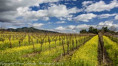 Munselle Vineyards Mustard, Alexander Valley (dschultz742) Tags: sky clouds landscape nikon vineyards nikkor circularpolarizer d810 alexandervalleycalifornia 02022016 coyotecrestcabernetsauvignon munsellevineyards