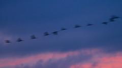Grues (Aicbon) Tags: las sunset naturaleza verde bird sol nature birds animal azul de rosa natura aves cielo aragon puestadesol aus teruel ocells bello gallocanta grulla ocell tornos grusgrus jiloca cuerlas