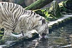 Tigre blanc (WolKrispy) Tags: animal zoo divers photographie fauve beauval dangereux tigreblanc