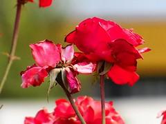 (danielavasquez616) Tags: red naturaleza flores flower macro cute love nature rose rojo live flor rosa planeta naturelovers macrofotografia