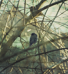 junco (amy buxton) Tags: winter nature birds animals natural junco amybuxton