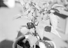 Capsicum! (stewartesmith) Tags: bw 120 film kodak 100tmx