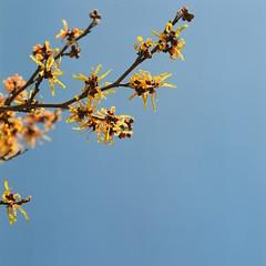 Witch hazel (shige.lotus) Tags: hasselblad500cm proxar planar2880mm fujifujicolorpro160ns