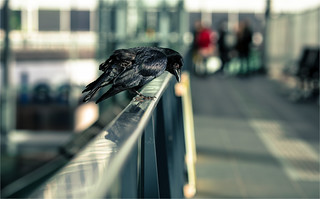 One crow in Nieuw Centraal Station