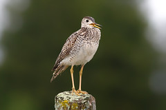 Upland sandpiper (Phiddy1) Tags: ontario canada birds sandpiper shorebirds cardenalvar uplandssandpiper