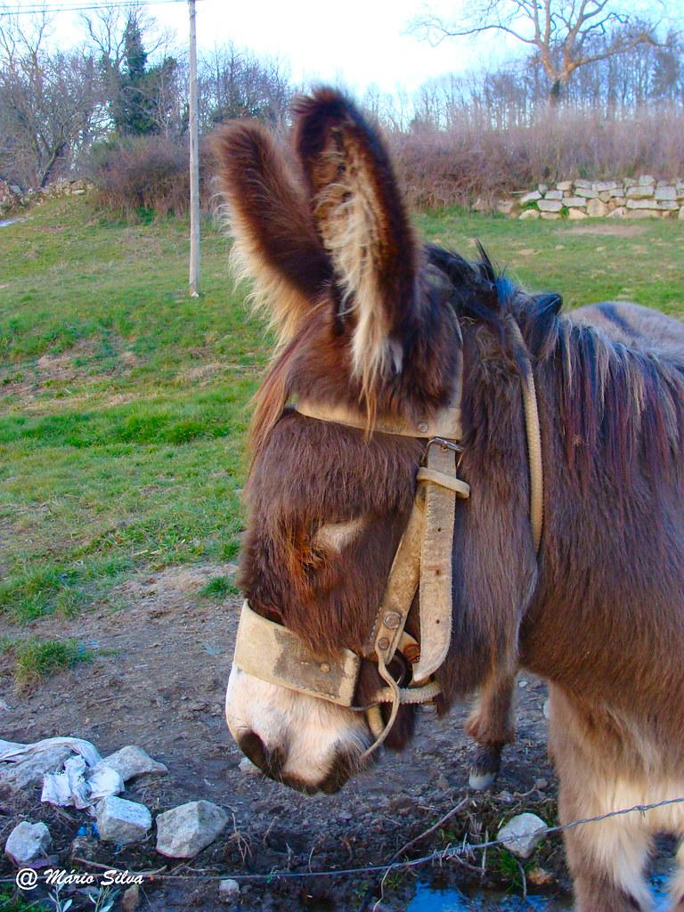 Águas Frias (Chaves) - ... burro de perfil ...