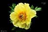 I COLORI DELLA NATURA. (Salvatore Lo Faro) Tags: verde nature nikon milano natura giallo fiore rosso nero salvatore d300 peonia orticola lofaro