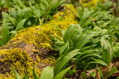 Wild Garlic (williamrandle) Tags: uk trees england plant flower green landscape moss spring nikon outdoor foliage avenue westmidlands fallentree dogwalker blackcountry wildgarlic wildplants 2016 hadenhillpark d7100 tamronf282470divcusd