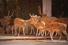 Spotted Deers (sanyagupta09) Tags: city travel india beautiful animal animals photography zoo niceshot animallover wildlife delhi sony exploring deer dslr deers photooftheday picoftheday bestshot naturelover capturing travelphotography wildlifephotography sonyalpha sonydslr travelphotographer