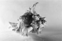 Nemo (emanuele_f) Tags: blackandwhite stilllife macro film closeup set analog nemo shell 150 60mm carlzeiss contaxrx adox r09 splanar silvermax
