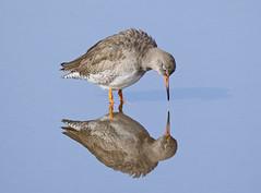 Redshank (35NW3) Tags: redshank leightonmoss