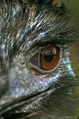 Emu's eye (boze610 [ free tibet ] [in giro per il mondo]) Tags: bird eye nature birds animal animals eyes naturallight australia natura occhi emu sa aussie southaustralia occhio animali animale naturalmente emus greatphotographers lucenaturale renmark canoneos400d groccaphoto
