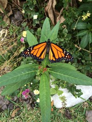 Monarch Butterfly on Butterfly Weed (dbarcus1) Tags: butterfly monarch butterflyweed