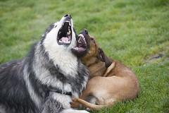 Akuna & Scout (EthanPDX) Tags: scout malamute ridgeback akuna