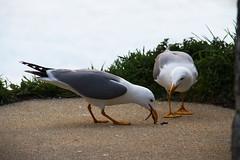 Una cena romántica (Contando Estrelas) Tags: españa spain seagull gull galicia ave gaviota pájaro baiona bayona