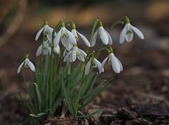 Sunbathing (heinrich_511) Tags: winter sun white green garden march spring heart olympus depthoffield thoughts photograph snowdrops sunbathing hl mft 1845mm