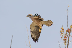 Swainson's Hawk takes a swipe at an owls nest - sequence - 4 of 5