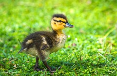 Showing Off Cuteness (   (Thank you, my friends, Adam!) Tags: macro cute art closeup lens photography nikon gallery photographer florida wildlife fine central duckling off telephoto excellent cuteness dslr curve showing