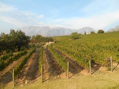 Uva Mira Vineyards (RobW_) Tags: southafrica march saturday vineyards uva mira stellenbosch westerncape 2016 05mar2016