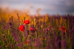 Lavender and Poppies (paulapics2) Tags: flowers red summer sunlight nature floral evening flora warm purple bright dusk lavender blumen poppies fields grasses canon5d wildflowers blooms eveninglight earlyevening summerlight hitchinlavenderfields