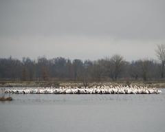 An island of American White Pelicans (wplynn) Tags: white bird pelicans indiana american linton gooseisland pelecanus erythrorhynchos