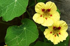 Nasturtium - Tropaeolum.  D&O (lindawood2414) Tags: nasturtiam tropaeolum yellow leaves