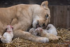 DSC_3818WM (Linda Smit Wildlife Impressions) Tags: cats white nature animal cat mammal photography big nikon outdoor african wildlife birth lion d750 cubs endangered lioness bigcats cecil carnivore lioncubs givingbirth