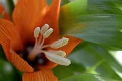 Spring me joy (vegeta25) Tags: orange flower macro green garden spring nikon outdoor mothernature tavasz virág kert zöld d3200 virágzik myfuji mothernatureatherbest