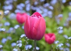 Tulip (careth@2012) Tags: tulip