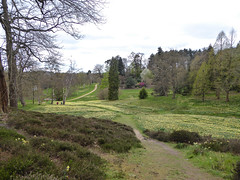 Yellow Carpet (Mabacam) Tags: park trees nature garden outdoors path surrey daffodils parkland virginiawater 2016 greatwindsorpark virginiawaterlakes