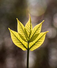 IMG_0031 The Fire in Spring (oldimageshoppe) Tags: leaves backlight spring sumac afternoonsun