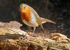 Robin in Tentsmuir forest (eric robb niven) Tags: forest scotland dundee wildlife lochs morton tentsmuir ericrobbniven