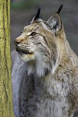 Sputnik besides the tree (Tambako the Jaguar) Tags: wild portrait tree male face cat zoo switzerland nikon looking farm profile trunk bern lynx d4 besides johnskleinefarm
