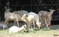 Fallow deer (sftrajan) Tags: mxico mexico zoo mexicocity gamo fallowdeer damhirsch daim 2016 ciudaddemxico bosquedechapultepec cervidae damadama cdmx zoolgicodechapultepec gamoeuropeo sonydsch90 gamocomn daimeuropen
