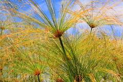 Whispering Green Grass (acwills2014) Tags: green grasses breeze botanicalgardens madeira