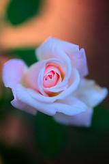 Have you ever lost something pure? (Abhijit Chendvankar) Tags: india rose nikon tamron pinkrose maharasthra fullbloom tamron90mmf28macro malvan sindhudurg revandi