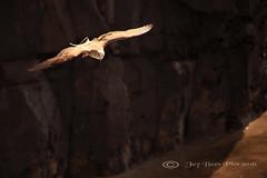 The Cliff Soarer! (Jay Bees Pics) Tags: bird portugal coast inflight europe gull ngc cliffs npc juvenile madeira atlanticocean funchal 2016 yellowlegged
