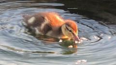 Piccolo anatroccolo (PennadiFata.it) Tags: water animale uccello allaperto anatroccolo