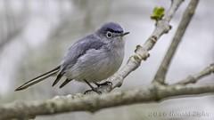 Blue-gray Gnatcatcher (Polioptila caerulea) IMG_9621 (ronzigler) Tags: bird nature canon sigma avian caerulea birdwatcher bluegray gnatcatcher polioptila 150600mm