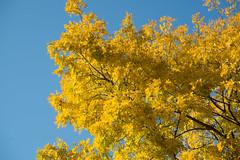 Last Autumn Passed Quicker Than Usual (photosam) Tags: blue autumn england colour london fall yellow 50mm prime raw sixwordstory lewisham autumncolours telephoto fujifilm local blueskies lightroom xe1 fujifilmx xc50230mmf4567ois xc50230mm14567ois