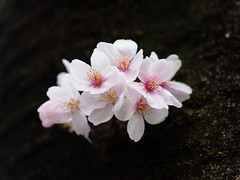 Blushed (H.H. Mahal Alysheba) Tags: flower macro tree japan canon cherry lumix cherryblossom sakura kipon gx7 ef100mm28l efmft