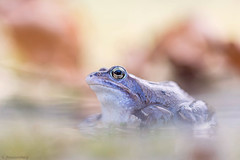 Rana arvalis (www.naturfokussiert.de) Tags: blue frog ranaarvalis moorfrosch