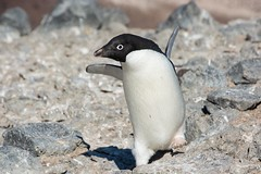 Adelie Penguin 2 (Barbara Evans 7) Tags: penguin barbara peninsula antarctic adelie evans7