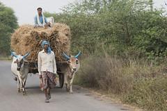 Bhoramdeo - Chhattisgarh - India (wietsej) Tags: india cow sony farming harvest 1670 chhattisgarh bhoramdeo sel1670z a7rii