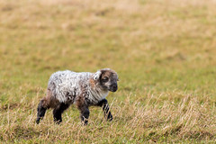 Wobbly Lamb (oandrews) Tags: cute nature animal animals fauna canon outside outdoors sheep unitedkingdom outdoor northamptonshire young adorable naturereserve gb lamb wooly signsofspring titchmarsh wildlifetrusts aldwincle ukspring canonuk canon70d
