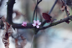 (RL Mulholland) Tags: pink flower 50mm spring seasons blossom bloom april change f18