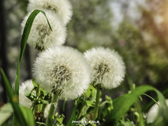 dandelion (photo krle) Tags: flowers plants flower macro nature garden photography spring nikon dandelion priroda maslaak cvet nikonphotography nikonl840