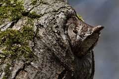 Western Screech Owl (OwlPurist) Tags: oregon portland westernscreechowlmegascopskennicottii