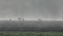 Gathering of hares (joeke pieters) Tags: mist holland netherlands field fog hare ngc nederland npc haas achterhoek winterswijk gelderland akker lepuseuropaeus europeanhare woold feldhase platinumheartaward livredeurope panasonicdmcfz150 1270116
